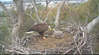 EAGLE CAM 2017- Eaglet Yells at Justice For Late Breakfast - ECC, MPDC - Washington, DC