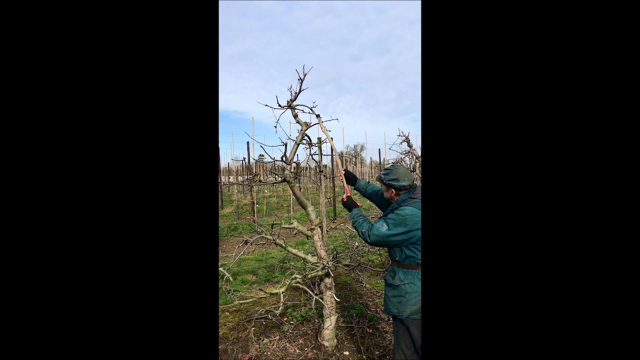Fruit Tree Pruning Suffolk And Trees The