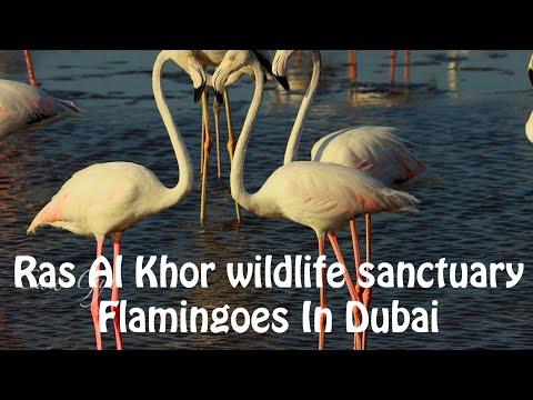 Ras Al Khor Wildlife Sanctuary Dubai | Watching Flamingoes Dubai | Free Things To Do In Dubai UAE