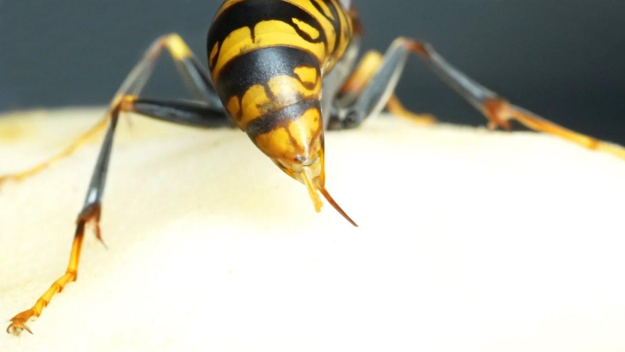 アシナガバチに皮膚を刺させると…