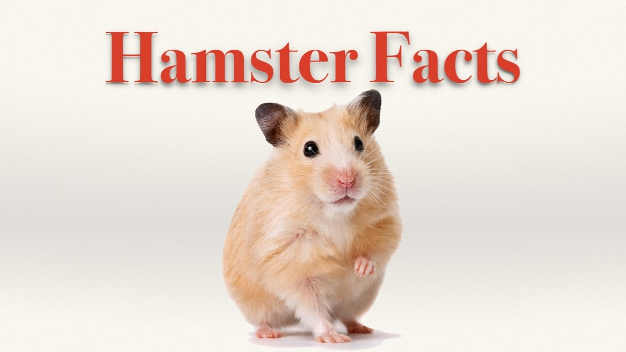 Hamster Video Showing Interesting Facts About Hamsters