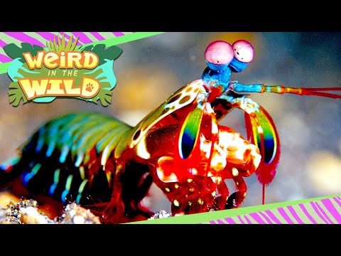 Animal or Alien? Unbelievable Facts About the Mantis Shrimp | WEIRD IN THE WILD