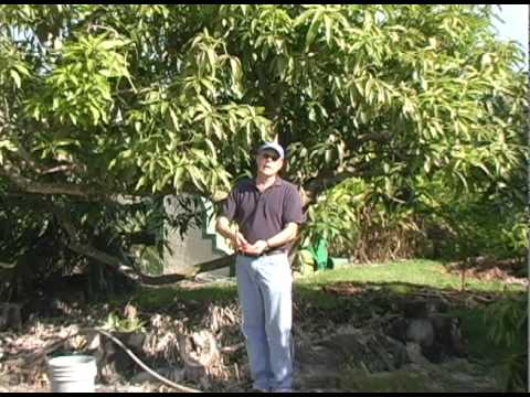 A022 Watering Mango Trees Youtube