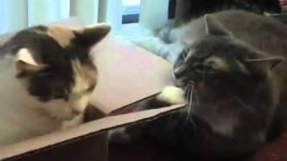 Spacy.Tv - Игра двух кошек