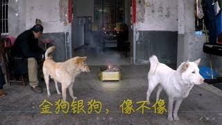 坚守传统,与时俱进,中华田园犬阿黄见证传统中国年,一脸懵逼!.发布中...