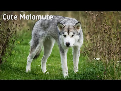 Alaskan Malamute shedding