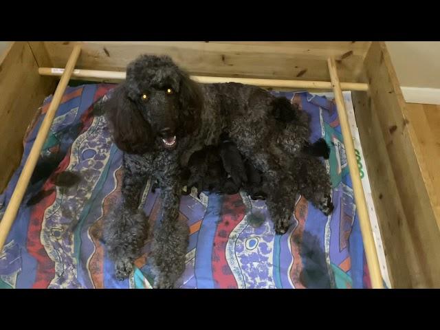 Brunette med nyfödda valpar dag 2