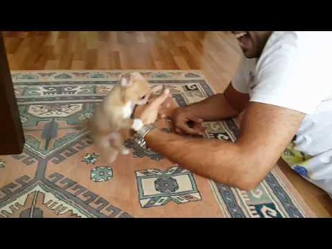 Sevimli Köpeğim Çılgın Badi İş Başında(Dog Chihuahua Buddy Şivava)