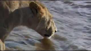 crocodile attack lion
