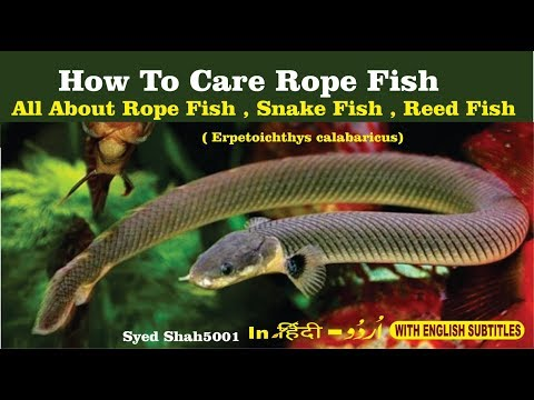 How To Care Rope Fish Reedfish Snake Fish Eel Fish Care & Info