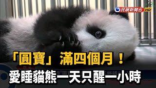 「圓寶」滿四個月! 愛睡貓熊一天只醒一小時-民視新聞