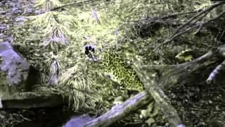 Дикая природа России   Амурский леопард