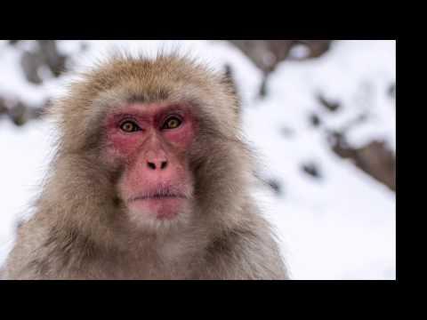 Visiting the Jigokudani Snow Monkey Park in Japan