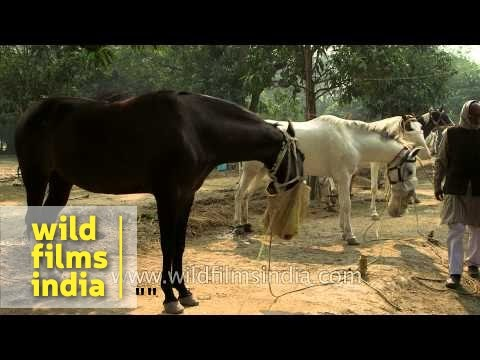 Horses lined up for sale in India