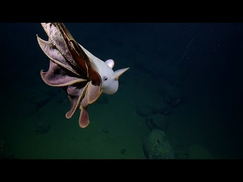 Ghostly Grimpoteuthis Octopus Glides By ROV Hercules   Nautilus Live