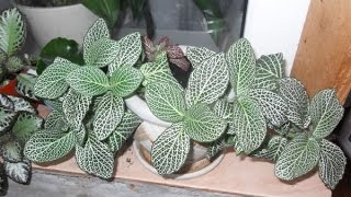 ФИТТОНИЯ – растение с необычной листвой. Виды, советы по уходу