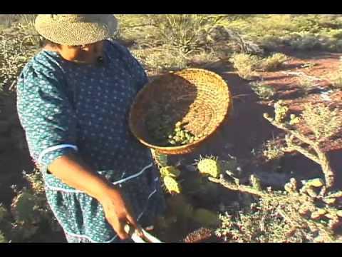 Harvesting Cholla Buds
