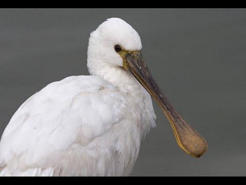 Oiseau blanc echassier kern vel larmor plage for Oiseau france