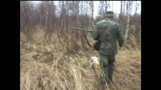 видео на фазана со спаниелем