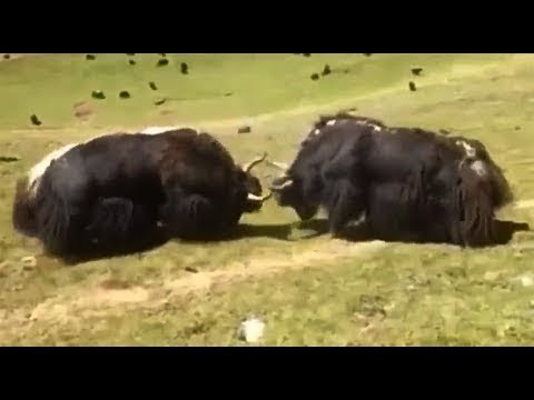 Surprising Clashes Of Yak-Bos Grunniens. Discovery Wild Animals - Rhino Vs Buffalo And More...