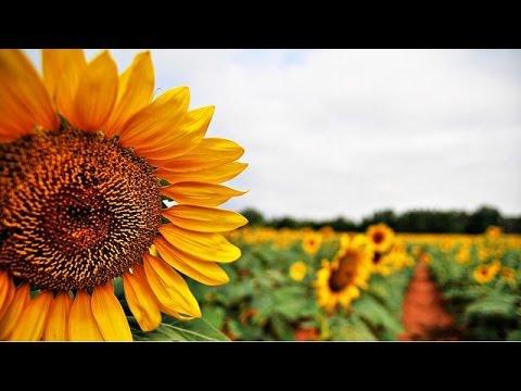 Kenyan farmers shift focus to high yield hybrid sunflowers