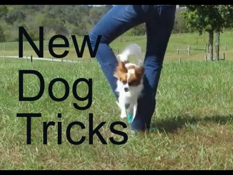 Percy the Papillon Dog: My Newest Dog Tricks!