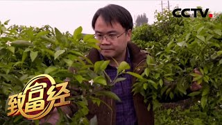 """《致富经》 20200513 我要打造""""沃柑工厂""""  CCTV农业"""