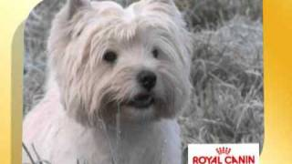 Royal Canin West Highland White Terrier Westie