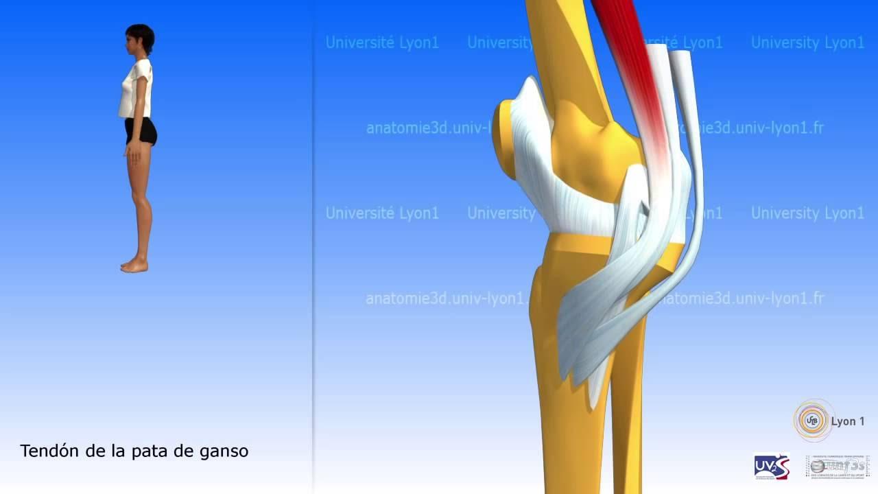El sartorio y el músculo de la pata de ganso - YouTube