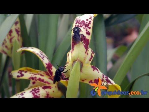 Orquídea Maxillaria picta sendo polinizada pela abelha Trigona spinipes [4K]