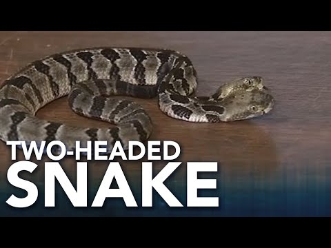 Deuce - Rare Two-Headed Venomous Snake Found In Jersey