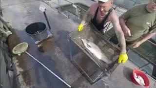 Инкубация толстолоба и амура: выбор производителей, получение икры, выклев личинки