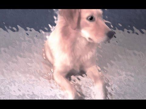 Dog goes crazy after bathing -/-Perro se vuelve loco despues del baño