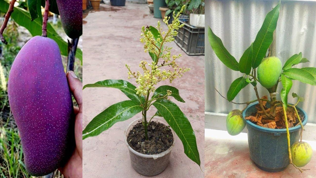 Como crecer arbol de Mango desde esqueje de forma efectiva