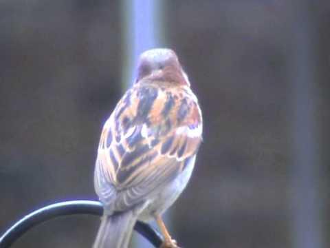 Tree Sparrow on Shepherd's Crook