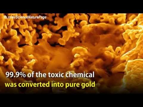 Bacteria turn a toxic chemical into pure gold