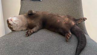 カワウソさくら とんでもない爆睡かますカワウソ otter that does not wake up immediately and sleeps