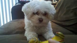 Favorite Toy - Maltipoo Dog Brie Davis
