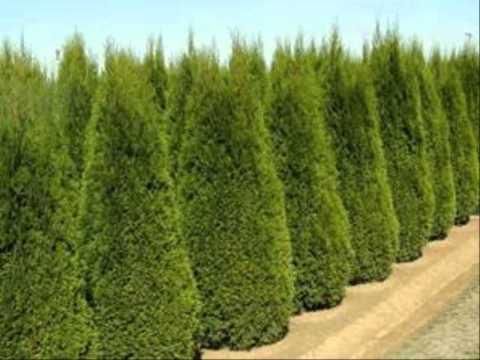 ขายต้นโมกแคระ ขายต้นไม้ ประชาอุทิศ