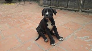 chó đen hai tháng tuổi rất dễ thương/two month old black dog/ minh tra