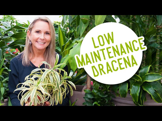 Low Maintenance Dracena