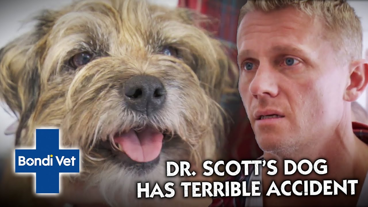 Dr. Scott Finds his Dog has had a TERRIBLE Accident at the Park   Classic Clip   Vet on the Hill