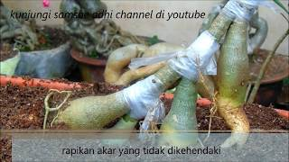 how to implant adenium roots (cara sambung akar adenium)