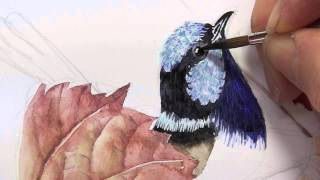 Blue wrens (male) part 2 - tip 13.2