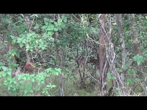 Rusa Deer nsw