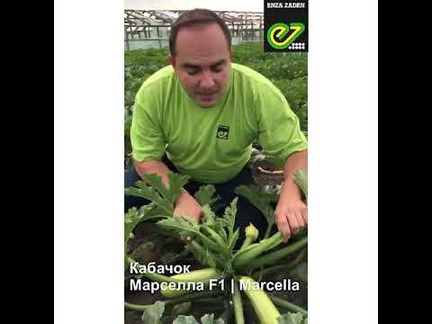 Марселла F1 - семена гибрида кабачка - Энза Заден