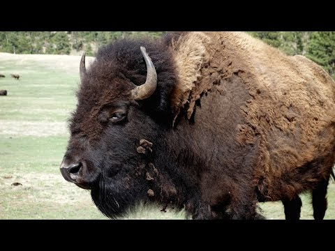 The Battle Between Buffalo and Wolves National Geographic Documentary