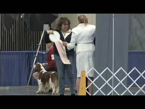 The ASC Cocker Spaniel Futurity - 2020 Flushing Spaniel Show