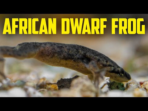 African Dwarf Frogs - True Aquatic Dwarf Frog Care Guide. How to Feed Dwarf Frogs.