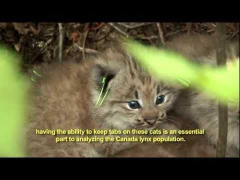 The Canada Lynx Study